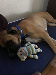 adopt, boxer, dog, rescue