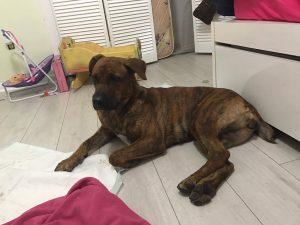 Sadie, rescue, adopt, mastiff, shepherd